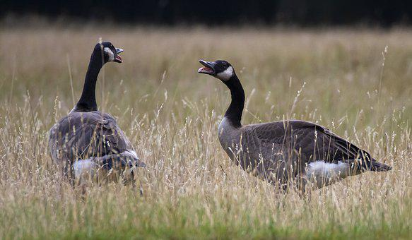 Nature, Forest, Blue, Goose, Canada Goose, Fauna, White