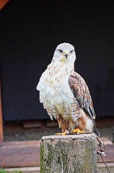 Hawk, Bird Park, Wildlife Park, Falconry, Flugshow