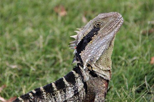 Australian, Water, Dragon, Wildlife, Reptiles, Lizard