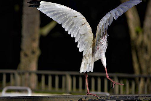 Bird, Taking Off, Wings, Spread, Large, White, Ibis