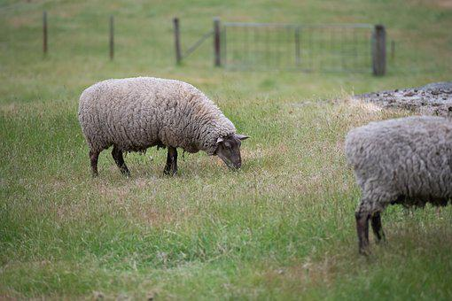 Sheep, Suffolk, Wool, Pasture, Animal, Farm, Livestock