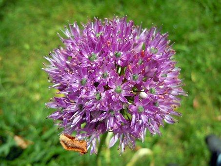 Allium, Leek Flower, Sphaerocephalon