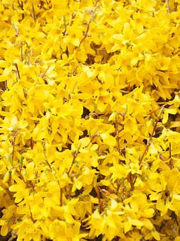 Gold Lilac, Forsythia, Branches, Yellow, Blossom, Bloom