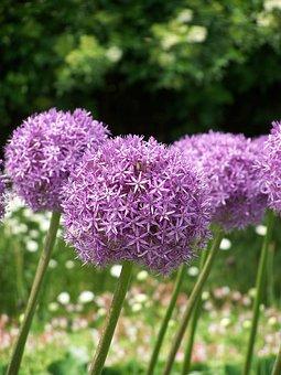 Allium, Flowers, Blossom, Bloom, Purple, Pink