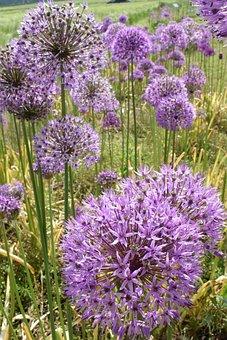 Leek, Ornamental Onion, Nature, Blossom, Bloom