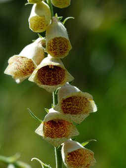 Yellow Foxglove, Flower, Flowers, Yellow, Brown