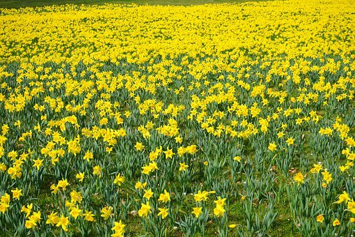 Daffodil Field, Flowers, Sea Of Flowers, Blütenmeer