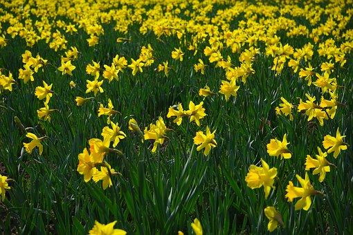 Daffodil Field, Flowers, Sea Of Flowers, Blütenmeer