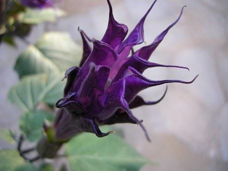 Angel Trumpet, Blossom, Bloom, Datura, Plant, Purple