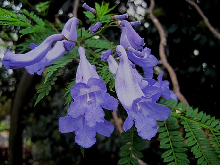 Wildflower, Flower, Jakaranda Petals, Trumpet Shape