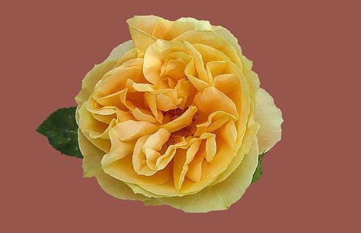 Rose, Rose Garden, Flower, Yellow Rose, Rose Bloom