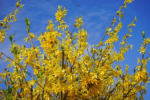 Forsythia, Aesthetic, Branches, Gold Lilac, Flowers