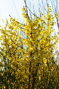 Forsythia, Garden Forsythia, Gold Lilac, Golden Bells