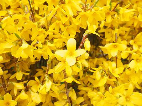 Forsythia, Flowers, Yellow, Branches, Gold Lilac