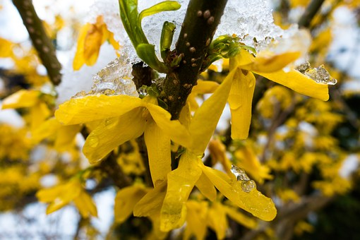 Winter Blast, Snow, Frost, Forsythia, Garden Forsythia