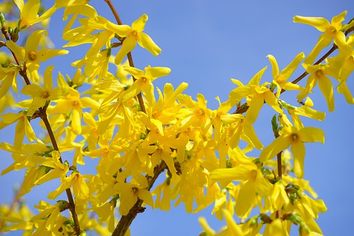 Forsythia, Gold Lilac, Flower, Blossom, Bloom, Bush
