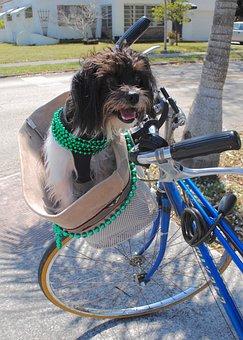 Dog, Shih Tzu, St Patrick's Day, Green, Ireland