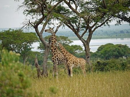 Giraffes, Rothschild-giraffes, Uganda, Pair