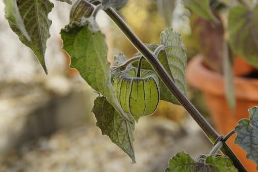 Physalis, Plant, Berry, Green, Nature, Flora