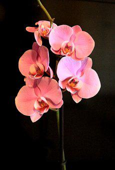 Pink, Petal, Nature, Tropical, Blossom, Bloom, Plant