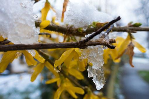 Winter Blast, Snow, Melt, Drip, Frost, Forsythia