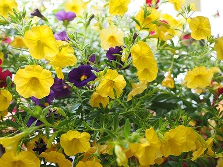 Zauberglockchen, Flowers, Yellow, Million Bells