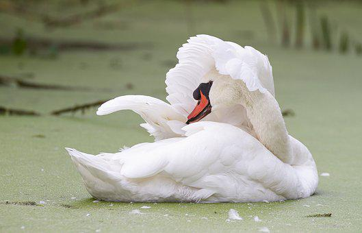 Mute Swan, Bird, Swan, Water, Nature, Animal, White