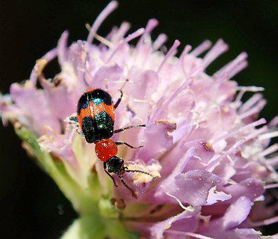 Insect, Beetle, Bug, Red, Black, Flower, Pink, Scabious