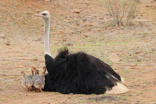 Baby Ostriches, Bouquet Of Babies, Animal Babies, Birds