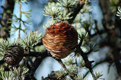 Cedar Of The Himalayas, Cedrus Deodara