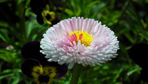 Daisy, Flower, Colored, Spring, Garden