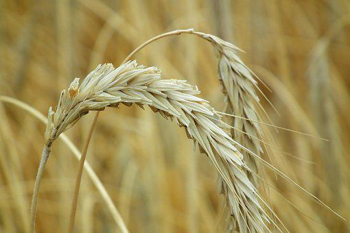 Ears, Corn, Agriculture, Harvest, Field, Summer