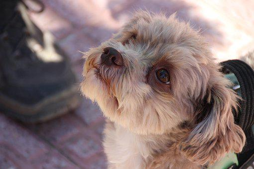 Dog, Hybrid, Small Dog, Good, Cute