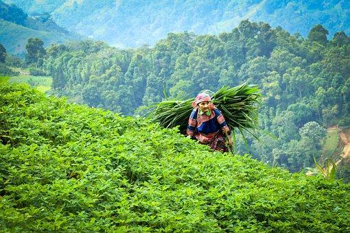 Vietnam, Farmer, Asia, Agriculture, Harvest, Farm