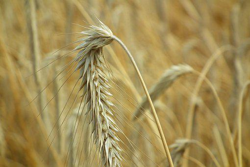Kłos, Corn, Field, Harvest, Agriculture