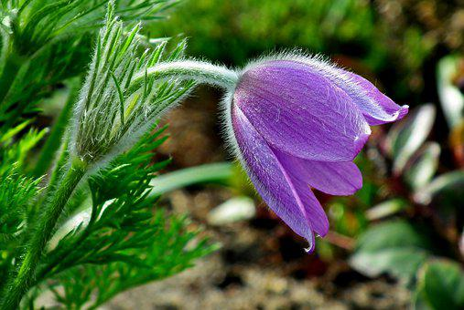 Sasanka, Flower, Spring, Garden, Violet, Fluffy, Macro