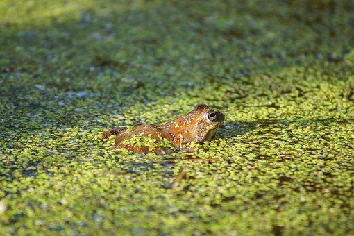 Frog, Grass, Green, Nature, Amphibian