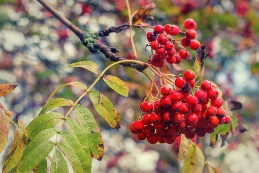 Mountain Ash, Rowan, Red, Green, Nature, Autumn, Fruits