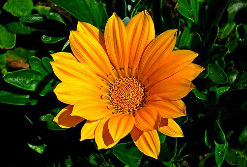 Gazania, Flowers, Nature, Macro, Summer, Garden