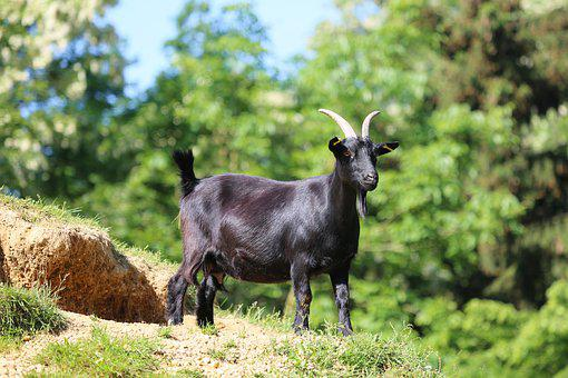 Goat, Animal, Black, Meadow, Petting Zoo, Fur, Goatee