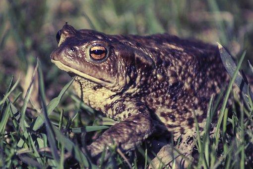 Frog, Grass, Green, Nature, Amphibian, Garden, Cute