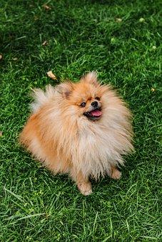 Dog, Brown, White, Pomeranian, Boy, Grass, Green