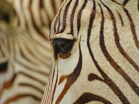 Zebra, Hartmann's, Mountain Zebra, Animal World, Africa