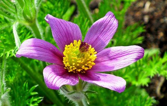 Sasanka, Flower, Spring, Plant, Garden, Violet, Macro