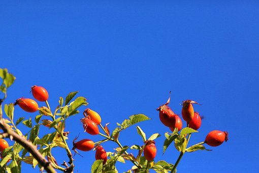 Rosehip, Nature, Red, Sky, Autumn, Plant, Flower, Tree