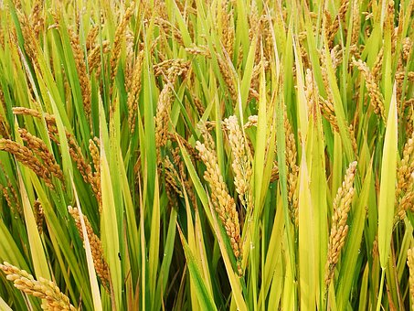 Agriculture, Rice, Nature, Outdoors, Countryside
