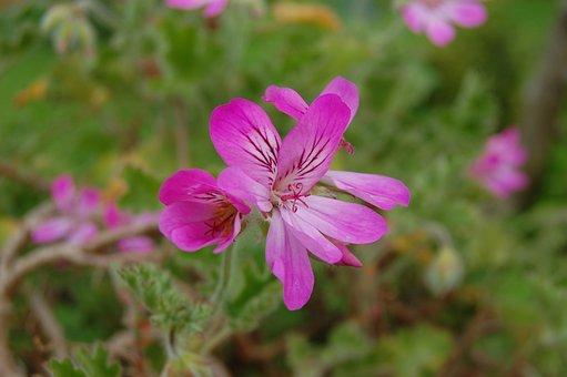 Pink, Pelargonium, Bright, Flower