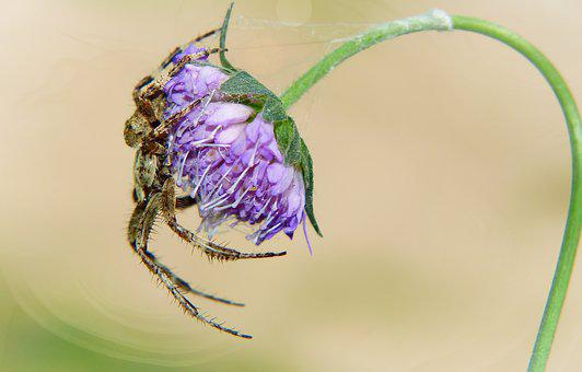 Crusader Garden, Female, Arachnid, Scary, Hairy, Phobia