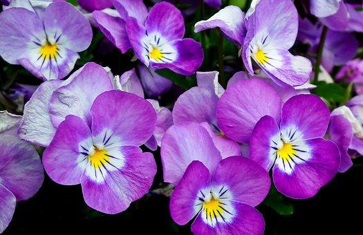 Pansies, Flowers, Colorful, Spring
