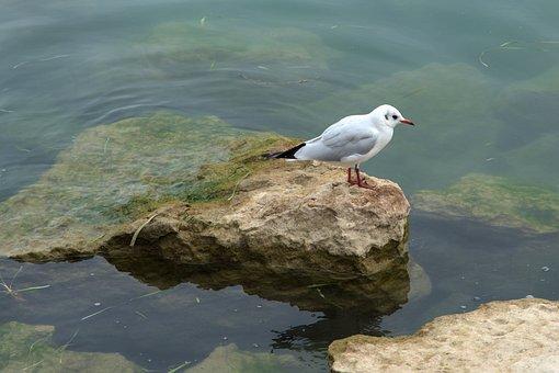 Bird, Lake, Water, Animal, Seagull, White, Swim, Nature